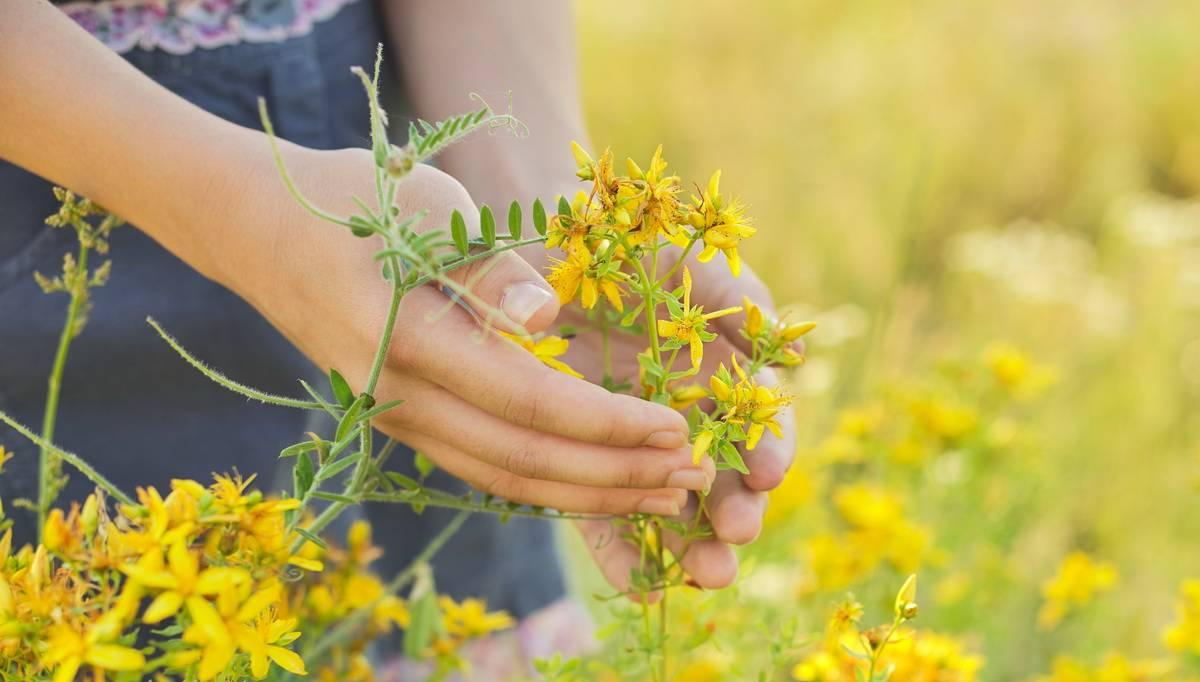 Трава мокрица лечебные свойства