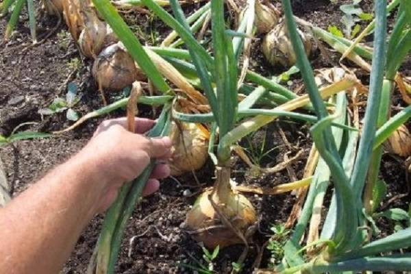 Как правильно ухаживать за луком в дождливое лето и когда его выкапывать