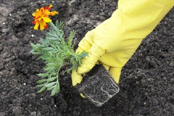 Виды и сорта бархатцев многолетних и однолетних. посадка и уход. фото растения