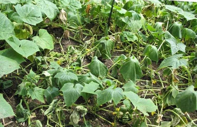 Тонкости выращивания кабачков в открытом грунте – какую температуру они смогут выдержать