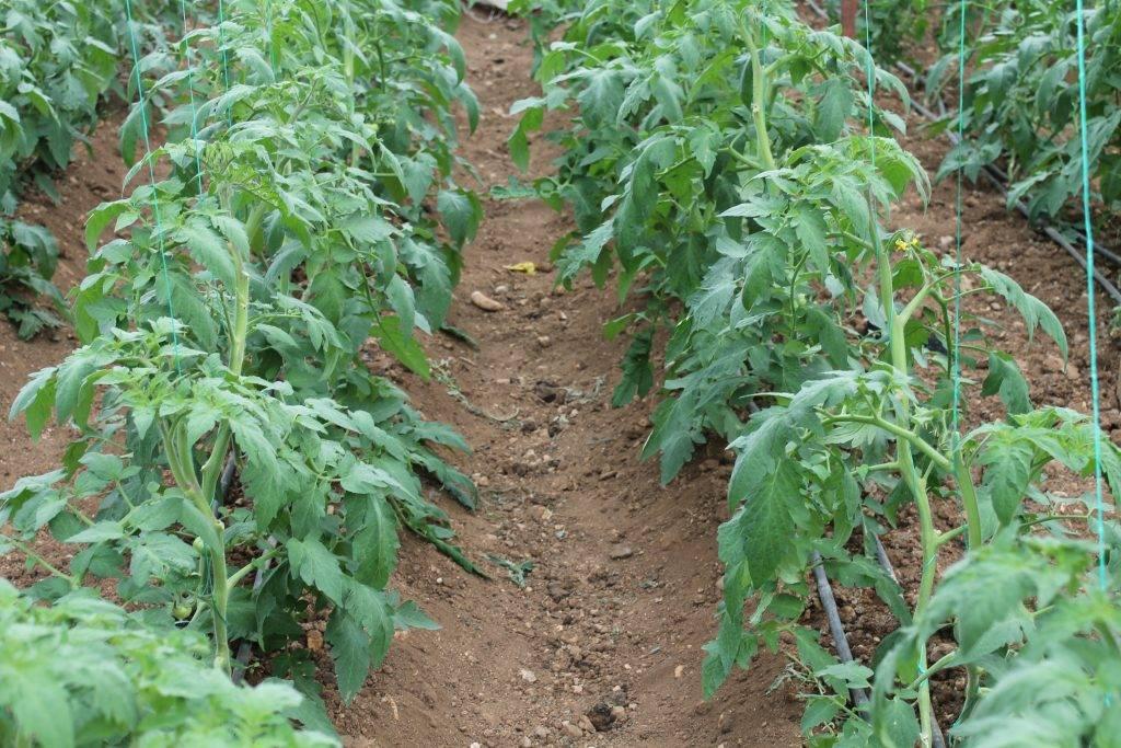Заботимся о хорошем урожае: грунт для рассады томатов