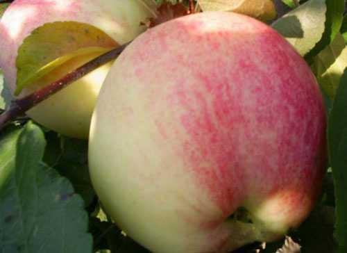 Описание сорта яблони Россошанское Вкусное (Изумительное), выращивание и уход