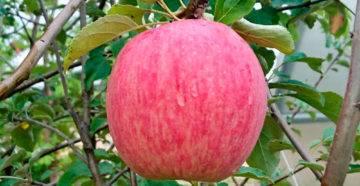 Сорт яблони россошанское полосатое: описание сорта, особенности выращивания, фото