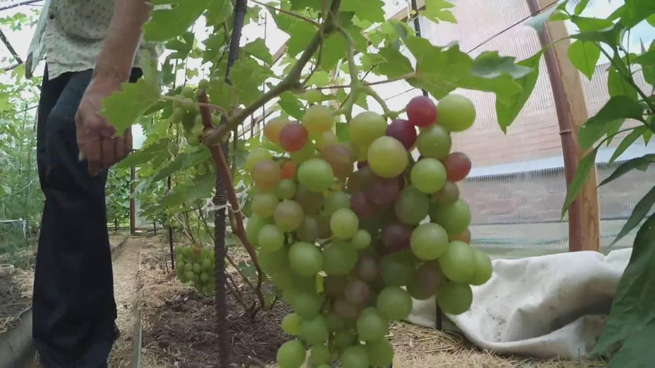 Виноград в теплице: как выращивать в холодных климатических условиях (75 фото-идей)