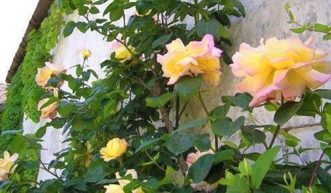 Плетистая роза глория дей клайминг: сорта, описание с фото, посадка и уход
