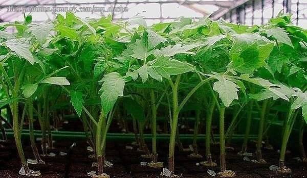 Почему не всходят семена томатов на рассаду и что делать