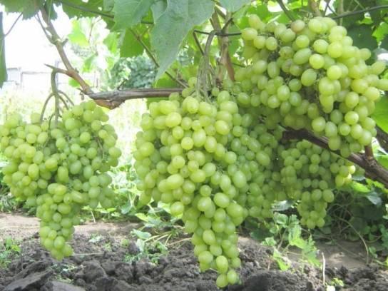 Главные правила агротехники высокоурожайного винограда алешенькин