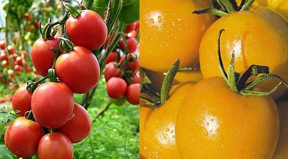 Рейтинг лучших сортов томатов для подмосковья