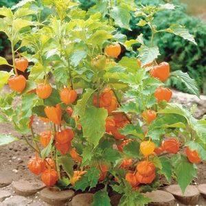 Как выращивать и ухаживать за физалисом в теплице, описание растения и советы