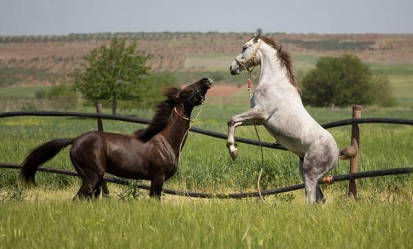 Вороная масть лошади: характеристика и вариации окраса, виды животных
