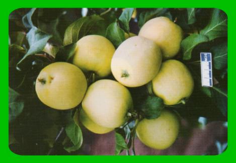 Феникс алтайский - биологически ценный сорт яблок