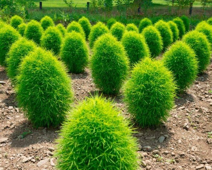 Описание сортов кохии, посадка и уход в открытом грунте, выращивание из семян