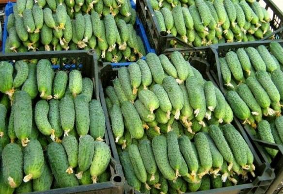 Огурец апрельский: характеристика, выращивание, плюсы и минусы сорта