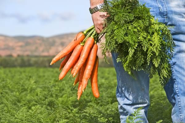 Как быстро прополоть и обработать морковь с помощью керосина от сорняков