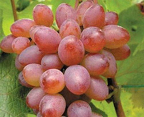 Агротехника винограда красотка