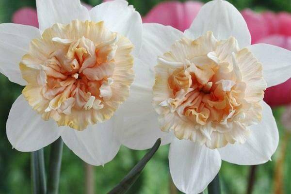 Нарцисс дик вилден: описание сорта, особенности выращивания и способы размножения