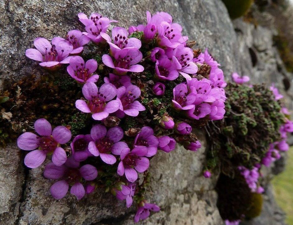 Камнеломка арендса — пурпурный, цветочный ковер