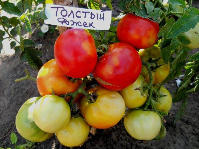 Характеристика томата волверин, урожайность сорта