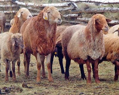 Что такое станция овец в австралии
