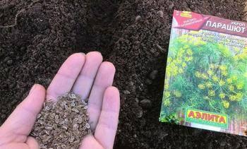 Посадка укропа в открытый грунт: сроки посева и правила выращивания