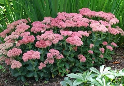 Украшение вашего сада — очиток видный