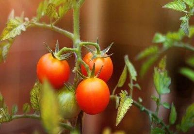 Технология выращивания томатов в ведрах
