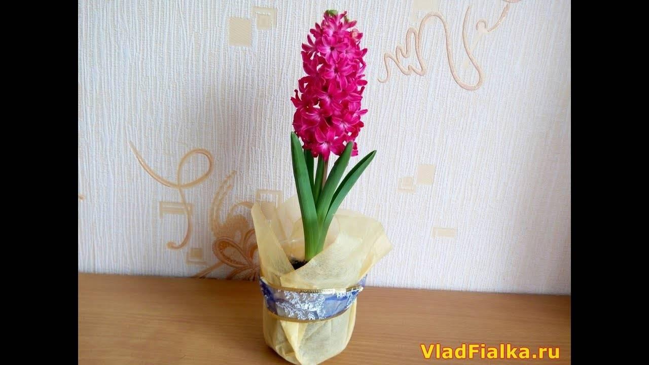 Гиацинты — посадка и уход за цветком в горшке в домашних условиях ?