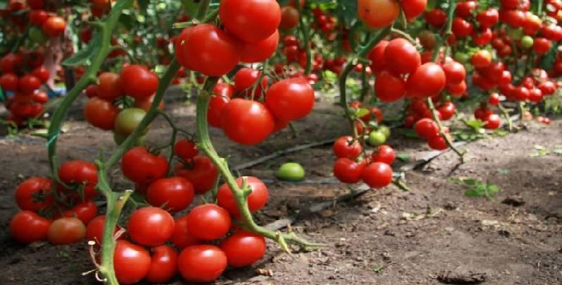 Популярные и высокоурожайные сорта тепличных помидор для подмосковья