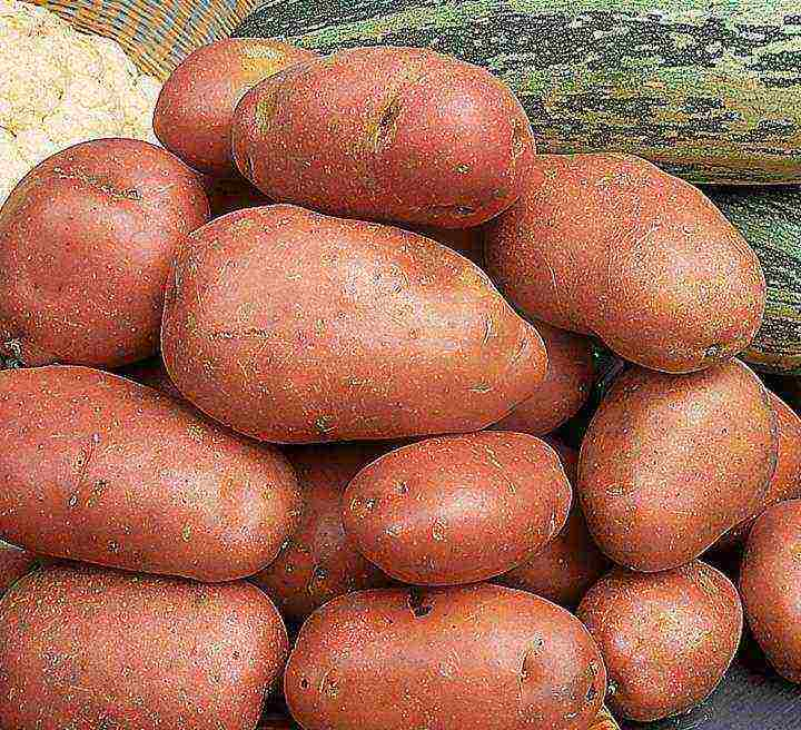 Картофель колетте описание сорта фото отзывы