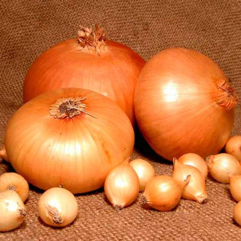 Выращиваем лук геркулес: описание сорта и секреты получения отличного урожая