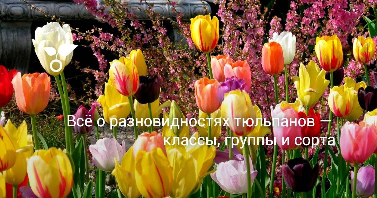 Триумф-тюльпаны.