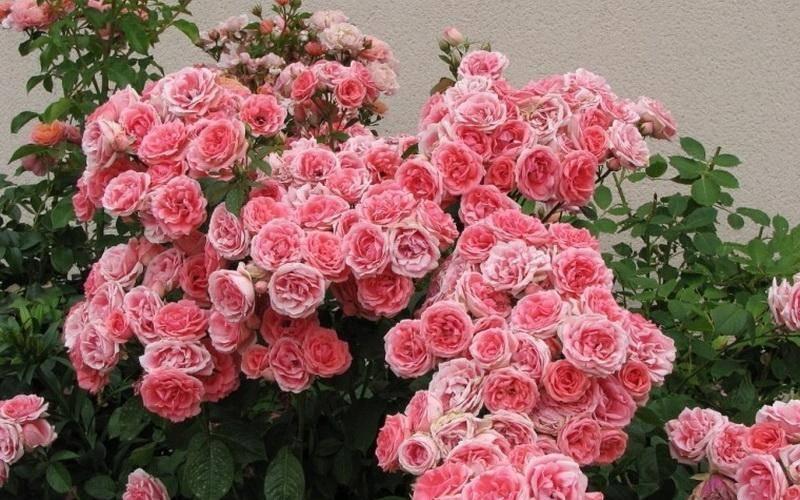 Описание сортов роз флорибунда, посадка и уход в открытом грунте для новичков