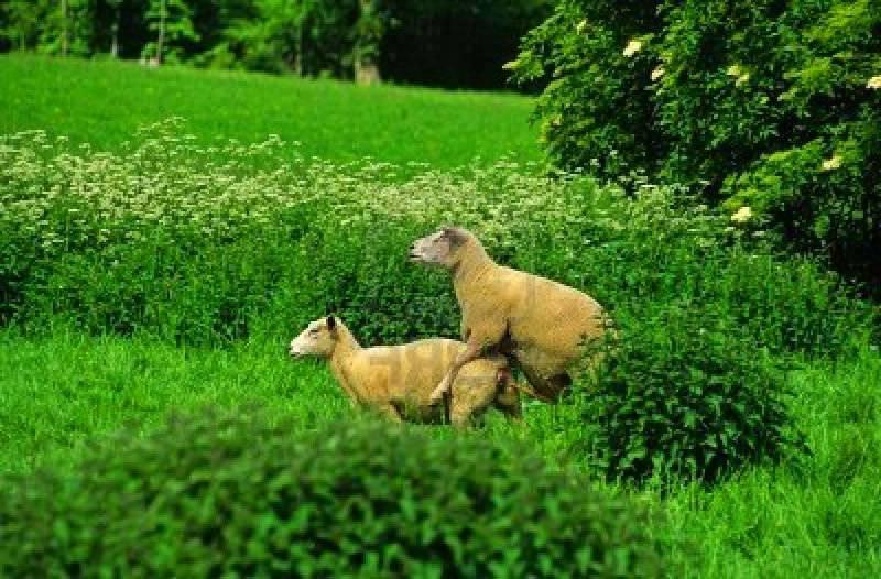 Осеменение овец и их случка