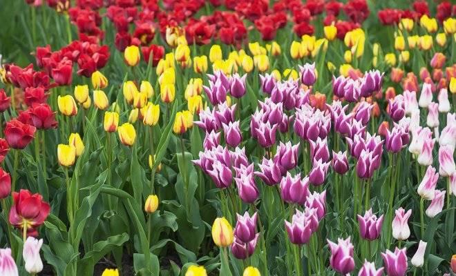 Описание сортов ботанических тюльпанов, особенности посадки и ухода