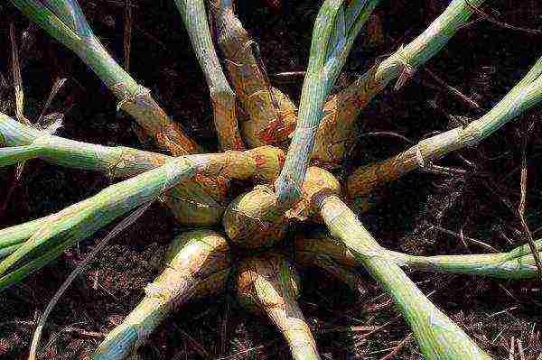 Посадка, выращивание и уход за семейным луком в открытом грунте