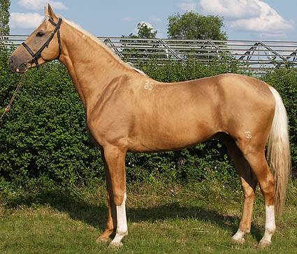Буденновская порода лошадей: содержание и разведение