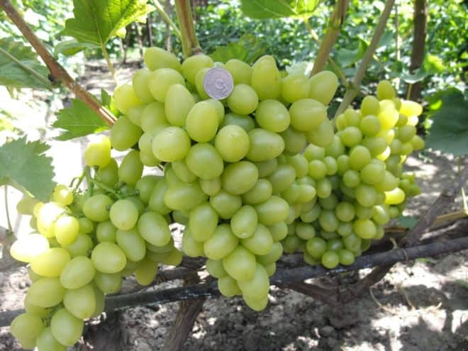 Виноград сенатор. описание и характеристики. болезни и вредители винограда
