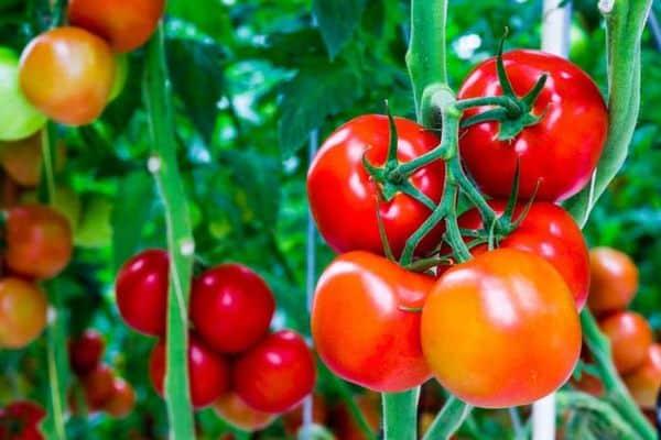 Описание сорта томата Бархатный сезон, его характеристика и урожайность