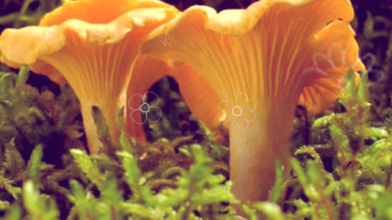Удивительные рецепты приготовления сухих грибов лисичек