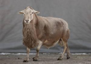 Выбор мясной породы овец и баранов