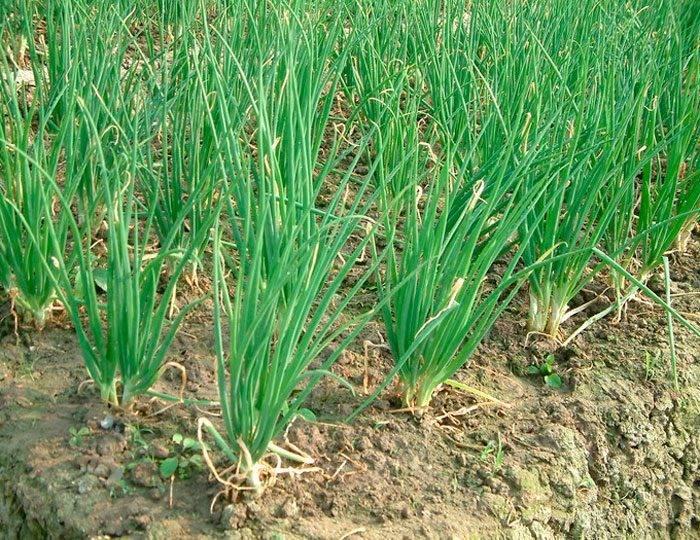 Борьба с вредителями и болезнями лука: правила обработки