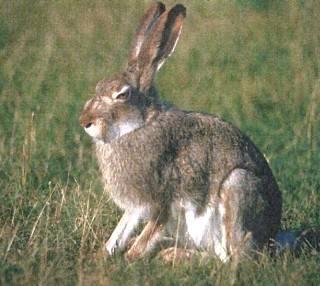 Сравнение зайца и кролика. чем отличается заяц от кролика: сходство и разница. как они размножаются и относятся к своему потомству