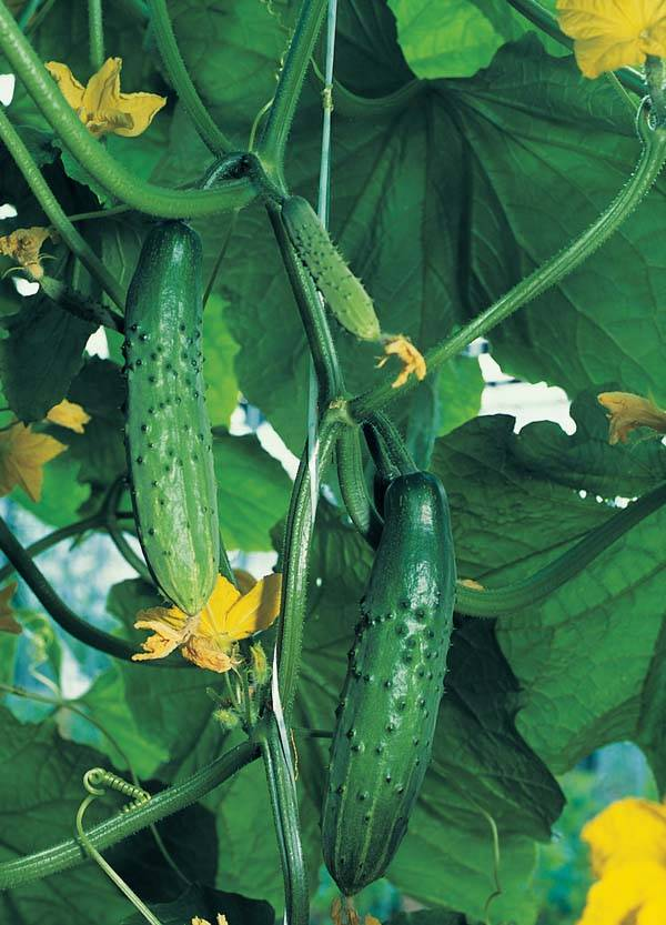 Характеристика сорта огурцов эстафета