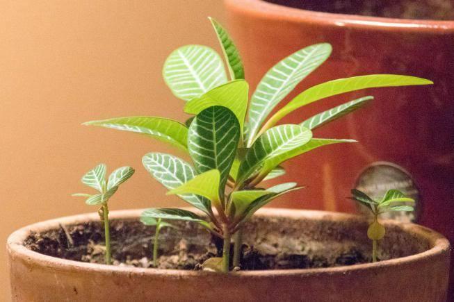 Молочай трава: надоедливый сорняк и мощное природное лекарство