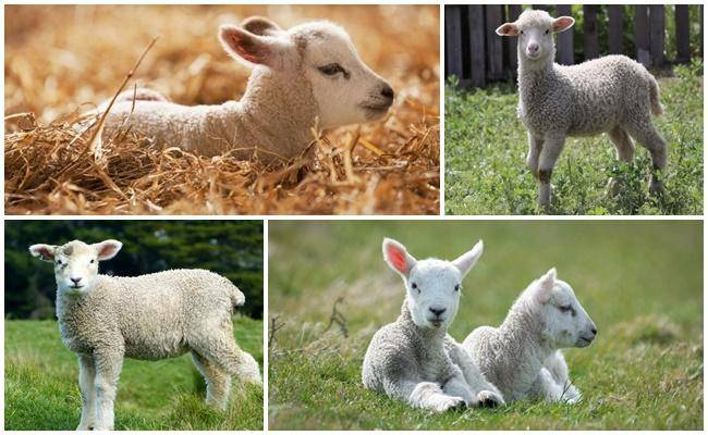 Понос у козлят: чем лечат в домашних условиях?