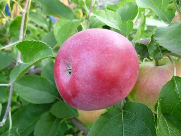 Выращиваем проверенный временем урожайный сорт яблони слава победителям