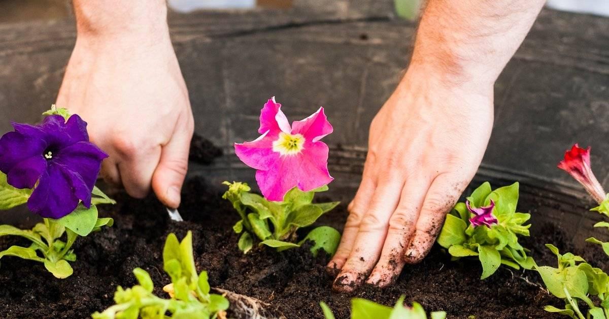 Способы хранения петунии до весны