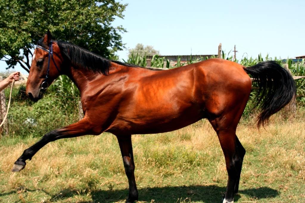 Виды скрещиваний лошадей и основные правила проведения
