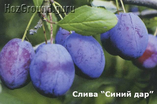 Сливово-вишневый гибрид: разбираем детально