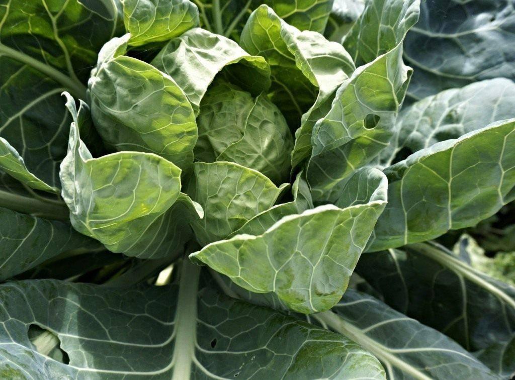 Как и когда удобрять капусту? правила и пошаговые рекомендации